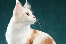 Maine Coon - Red Silver Blotched & White / #MaineCoon #Red #Silver #Blotched #White #Cts