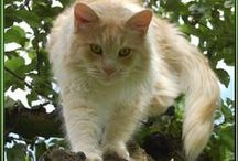Maine Coon - Cream Silver Blotched / #MaineCoon #Cream #Silver #Blotched #Cats