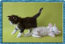 All Colours  - Kitten Cuteness Overload / Maine Coon, kitten, kittens, cute, adorable