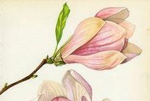 Botanical illustrations / Botanical flowers illustrations
