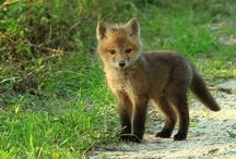 •Fox in Socks
