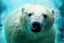BEARS' / O bear..