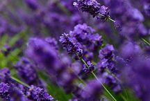 lavender a lot~ / Lovely lavender