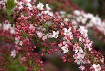 Kertem virágai, virágos bokrai / Eljött az ideje, hogy számba vegyem a kertemben élő, virágos dísznövényeket. Egy-egy példányukat vásároltam meg, de van olyan faj, amiből már akár 50 tő is virít a kertemben. Szívesen adok belőlük, ha lehetséges :)