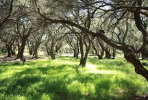 Corfu olive trees and corp..