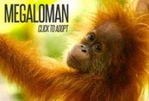 Adopt an Orangutan!