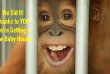 Sumatran Orangutan Baby House / Please help us build a new Sumatran Orangutan Baby House for the Sumatran Orangutan Conservation Programme (SOCP). http://redapes.org/babyhouse