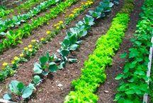 Gardening plants -Herbs and Vegies