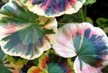 Gardening plants-Geraniums