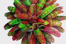 Gardening plants- Bromeliads