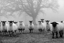 Sheepish....