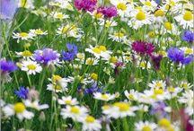 Wild Flowers  - Luonnon Kukat / Wild Flowers