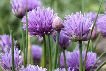 Herbs - Yrtit / Fresh Herbs