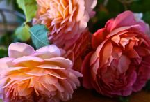 Roses - Ruusut / Roses are red & all the colour's in between.