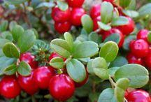 Lingonberry - Puolukka / Puolukka