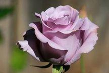 Roses & Cia