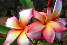 Flowers - Plumeria / by Mandala Mai