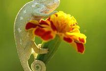 Chameleons / Love you Alfred ❤️