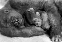 Gorillas / by Ang Linn