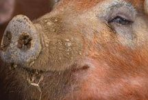 Raising Pigs / Tips for all aspects of raising pigs on a homestead