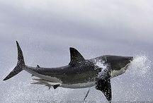 Sharks / by Katelyn Gansmann