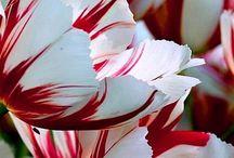 Tulip Fever / by Katelyn Gansmann