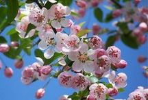 Blossom. / Real Blossoms from Fruit Trees.