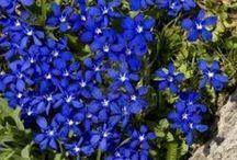 Blue Annuals and Perennials.