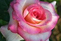 Hybrid Tea Roses. / The World's Most Popular Rose Type.