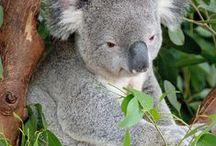 Australian Native Animals.