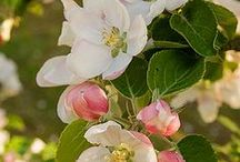 Apple Blossom. / There's no other kind of blossom really.