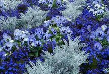 The Dusty Miller Plant.