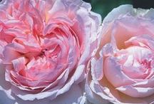 """Pink Roses. /  """"A profusion of pink roses bending ragged in the rain speaks to me of all gentleness and its enduring"""". William Cullen Bryant."""
