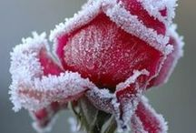 Frosted! / Frost, Snow and Ice on Flowers, Berries, Fruit, Leaves ...