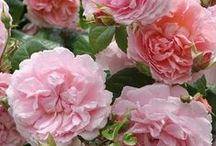 Most Fragrant Roses. / Winners of the James Alexander Gamble Fragrance Award and Other Highly Fragrant Roses.