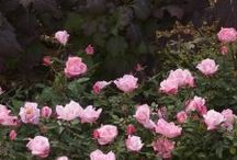 """Knock Out Roses. / """"Friends are the roses of life... pick them carefully and avoid the thorns!"""" Unknown."""