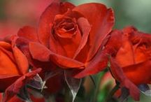 """Red Roses. / """"The rose is the flower of love. The world has acclaimed it for centuries. Pink roses are for love hopeful and expectant. White roses are for love dead or forsaken, but the red roses, ah the red roses are for love triumphant"""". Unknown."""