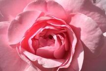 Bonica Rose.