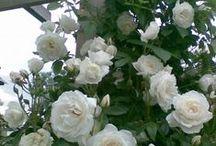 Iceberg Rose. / Ideas For Iceberg Roses.
