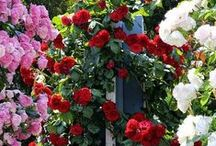 """The Rose Garden. / """"Won't you come into the garden? I would like my roses too see you"""". Richard Brinsley Sheridan."""