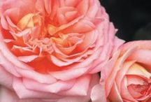 """Fragrant Climbing Roses. / """"A bit of fragrance always clings to the hand that gives you roses"""". Chinese Proverb."""