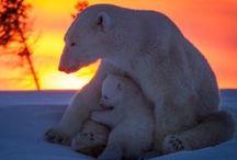 Polar Bears. / So Precious! Let's Enjoy Them While We Can ...