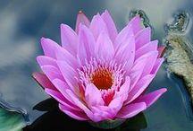 Lotus-kukka