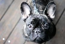 Obsessed (French Bulldog)