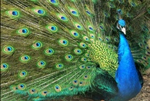 Indian Peafowl / Relevant Boards: 2D Peafowl Art | 3D Peafowl Art | Indian Peafowl Mutations | Black-shouldered Peacocks / by K.H.