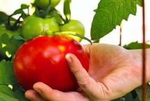 The Kitchen Garden / Fruits and Vegetables from the garden to your table