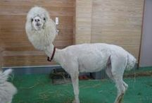 Alpaca Humour