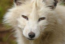 Animals - FOX / Lovely