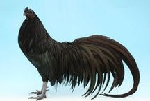 Poultry - breeding