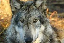 Dogs - wolflike